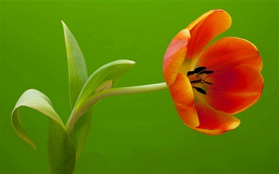 Papéis de Parede Uma tulipa laranja, fundo verde
