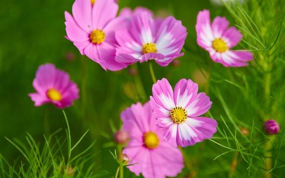 壁紙 ピンクのコスメヤの花、春、緑の背景