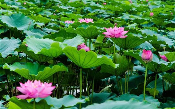 Обои Розовый лотос, цветы, зеленые листья лотоса