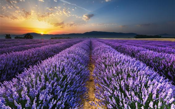 Papéis de Parede Campo de flores de lavanda roxo, nascer do sol, brilho, manhã