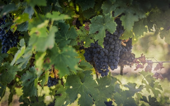 Wallpaper Ripe grapes, green foliage, hazy