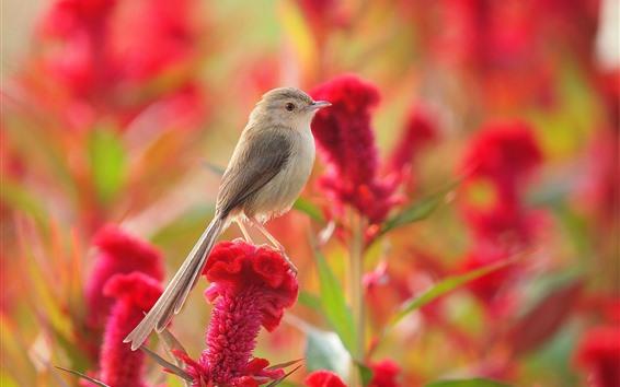 Papéis de Parede Pardal, flores vermelhas