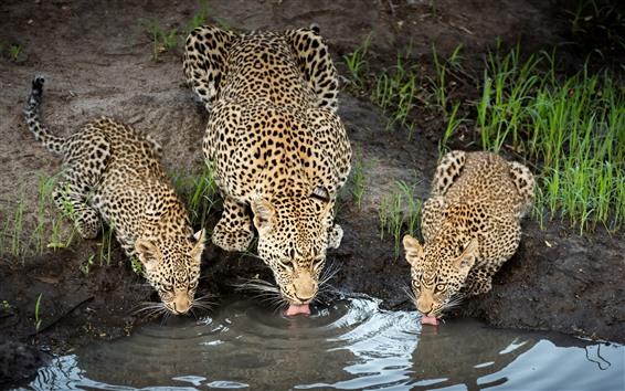 배경 화면 3 개의 치타가 물을 마신다