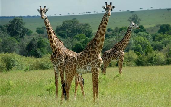 Wallpaper Three giraffes, Africa