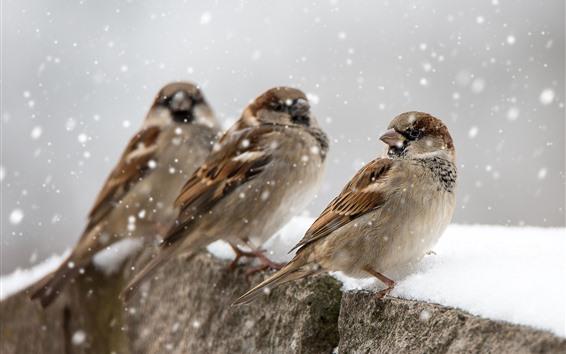 Papéis de Parede Três pardais, neve, inverno