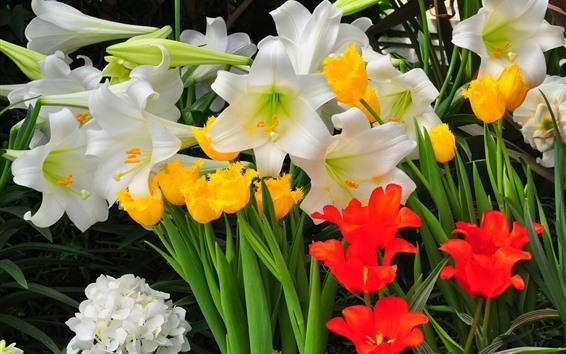 배경 화면 튤립과 백합, 흰색, 노란색 및 빨간색 꽃