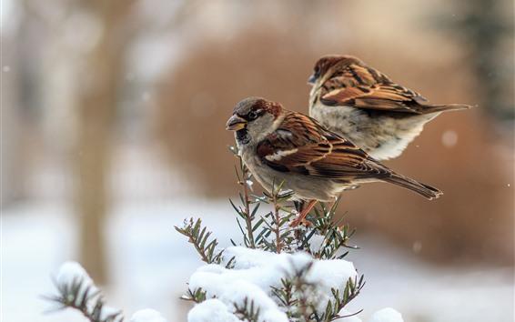Papéis de Parede Dois pardais, neve, inverno