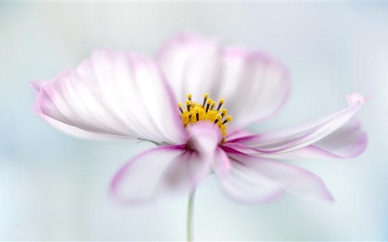 Обои Белые розовые лепестки космея цветов