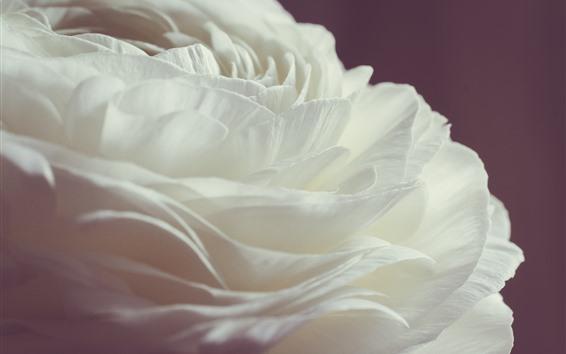 Papéis de Parede Rosa branca close-up, pétalas, fundo rosa