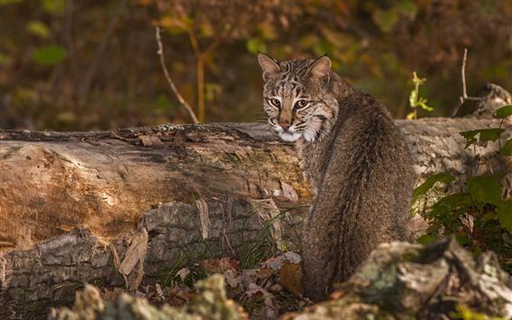 Papéis de Parede Gato selvagem olhar para trás, lince, animais selvagens