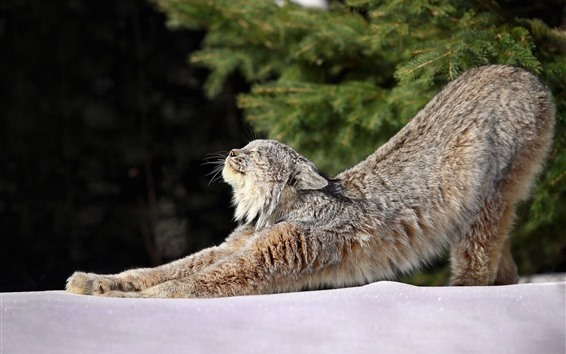 Wallpaper Wildcat, lynx, stretching