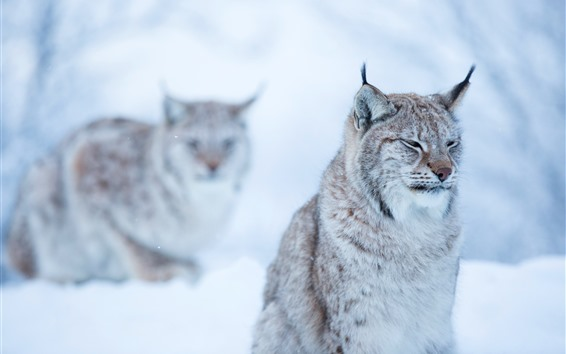 Papéis de Parede Gato selvagem, lince, inverno, bokeh