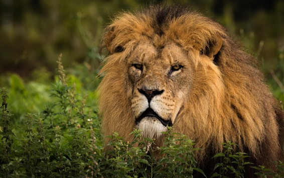 Wallpaper Wildlife, lion, mane, look