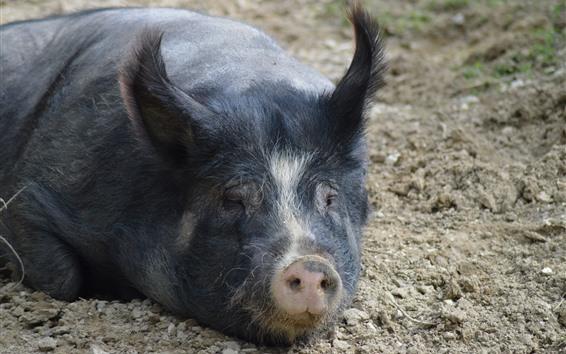 壁紙 黒豚、鼻
