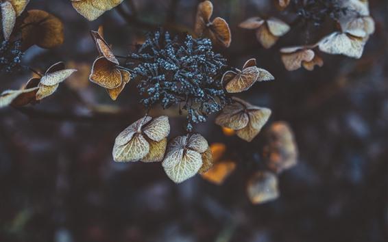 Papéis de Parede Folhas de trevo seco, geada