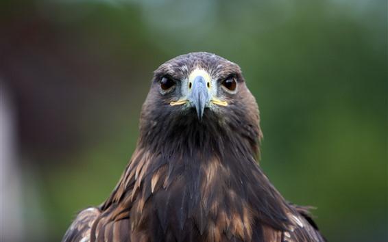 Papéis de Parede Vista frontal da águia, cabeça, bico, olhos