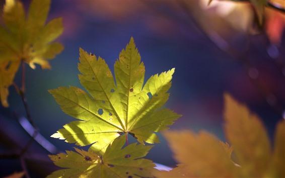 Fondos de pantalla Hoja de arce verde, naturaleza