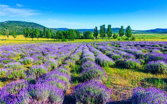 배경 화면 라벤더, 보라색 꽃, 나무, 자연 풍경