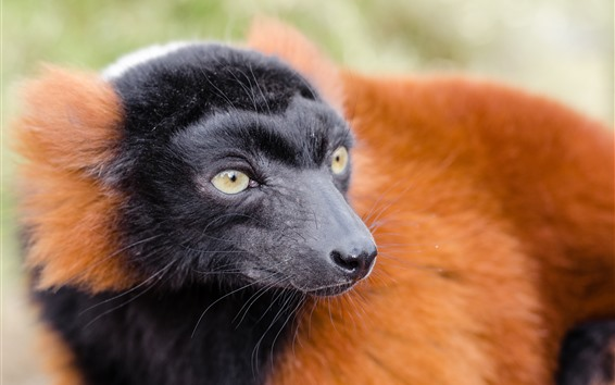 Wallpaper Lemur, black face, yellow eyes