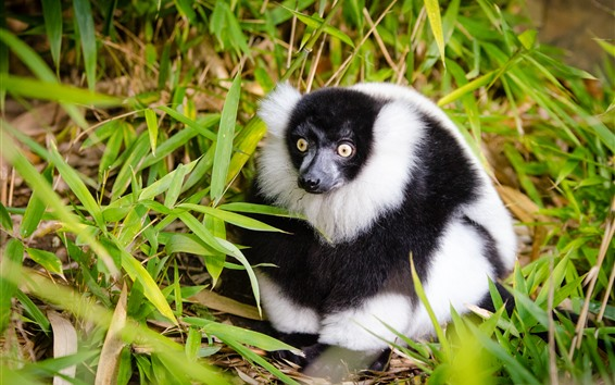 Wallpaper Lemur, white and black, bamboo