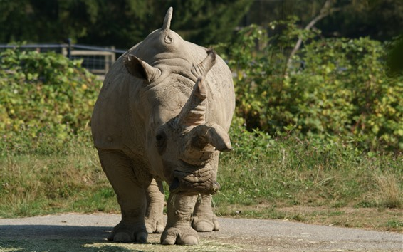 Papéis de Parede Rinoceronte solitário