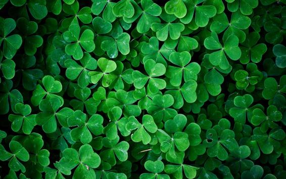Обои Много зеленых клеверов