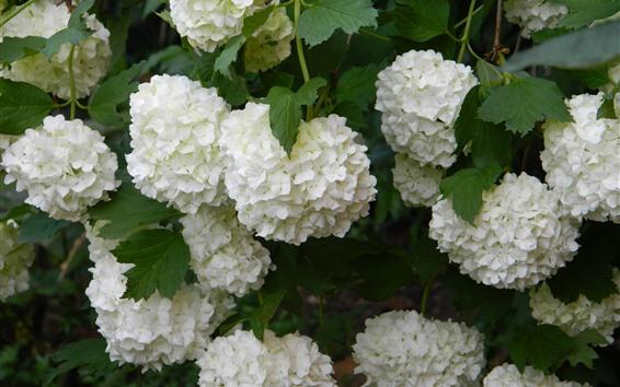 배경 화면 많은 흰 수국 꽃