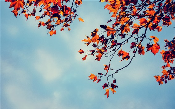 Обои Кленовые листья, небо, осень