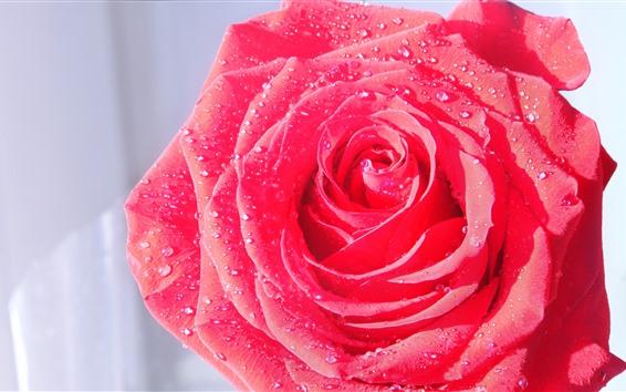 Обои Одна розовая роза крупным планом, лепестки, роса
