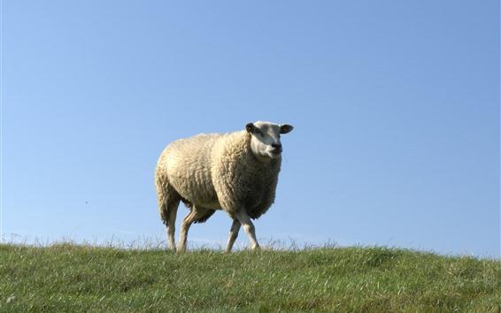 Papéis de Parede Uma ovelha, andar, grama