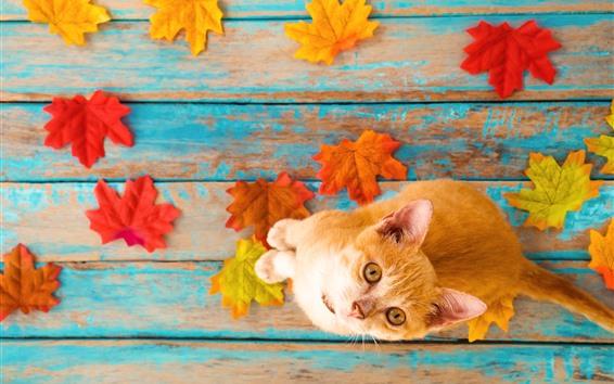 Обои Оранжевый котенок смотрит вверх, листья клена