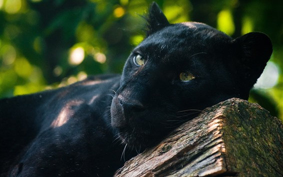 Wallpaper Panther, predator, rest, yellow eyes