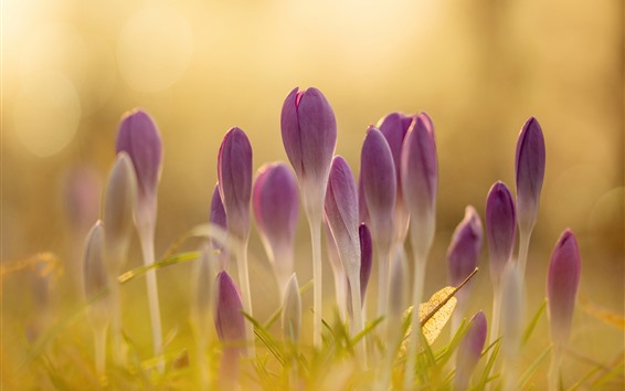 Wallpaper Pink crocuses bloom, hazy, spring