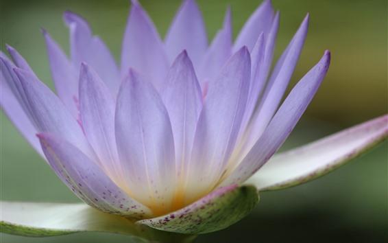 Papéis de Parede Nenúfar cor de rosa, pétalas, close-up de flores