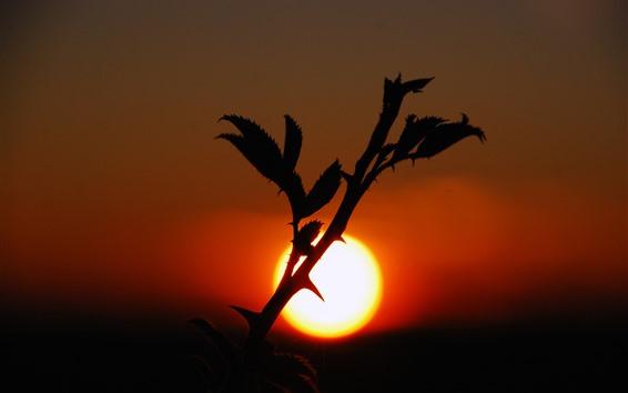 Wallpaper Plants, sunset, thorn, silhouette