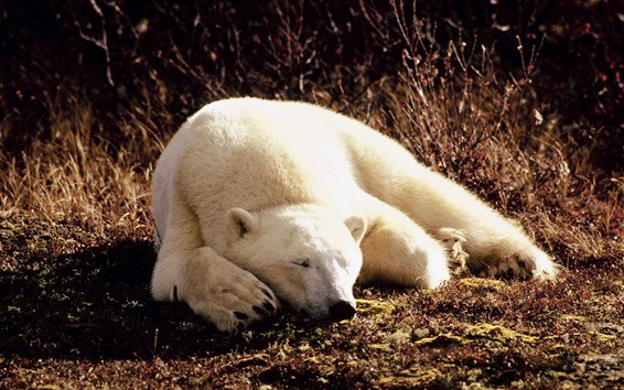 壁紙 眠っているシロクマ、太陽の光