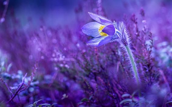 Обои Первоцвет, сон-трава, фиолетовый фон
