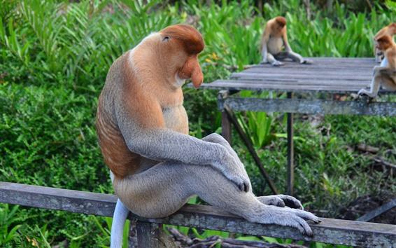 Wallpaper Proboscis monkey