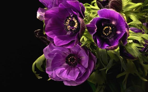 Papéis de Parede Anêmonas roxas, flores, fundo preto