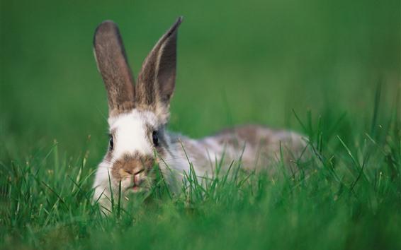 Обои Кролик, зеленая трава, живая природа