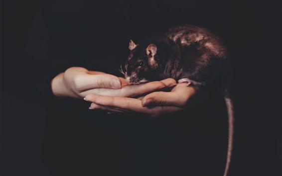 Papéis de Parede Rato nas mãos