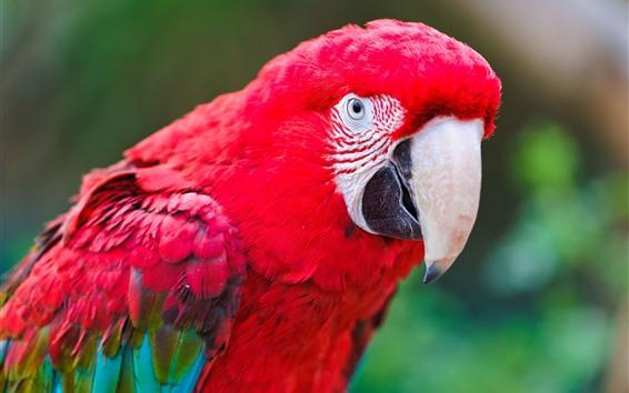 Papéis de Parede Papagaio de penas vermelhas, bico, pássaro