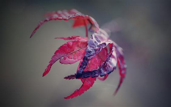 Обои Красный кленовый лист, вода, туманный фон