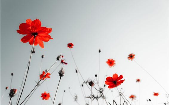 Papéis de Parede Papoilas vermelhas, céu, brilho