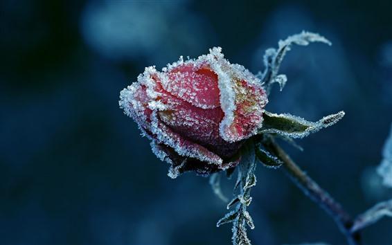 Обои Красная роза, иней, бутон цветка