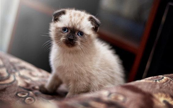 Wallpaper Scottish lop eared kitten