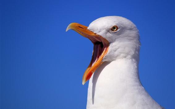 Wallpaper Seagull, scream, beak, white feathers