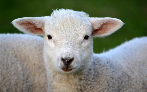 Обои Овца, коза, голова, посмотри на себя