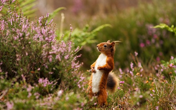 Papéis de Parede Esquilo em pé, flor rosa, Primavera