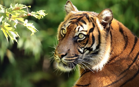 Papéis de Parede Tigre olha para trás, rosto, olhos verdes